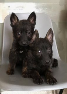 German Shepherd Pure Breed  Puppies For Sale