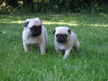 Quality K.c.reg Pug Puppies For Sale