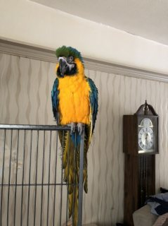 Beautiful Male and Female Hyacinth Macaws For Sale