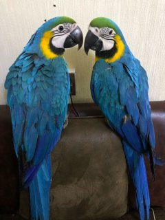 Beautiful Blue and Gold Macaws For Sale