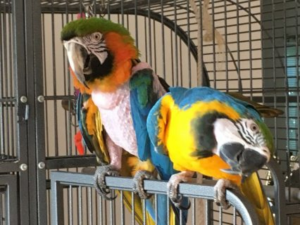 Lovable Macaws Looking For A Good Home