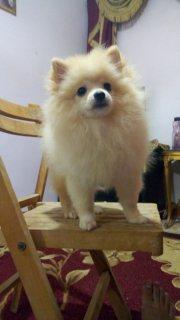 Pomeranian puppy dog for sale للبيع  كلب بومرانيان