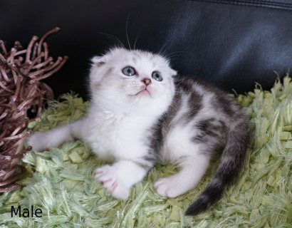 Pedigree Scottish Fold Kittens for sale