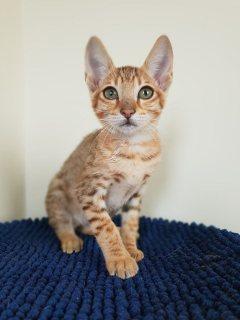 Lovely Savannah Kittens available
