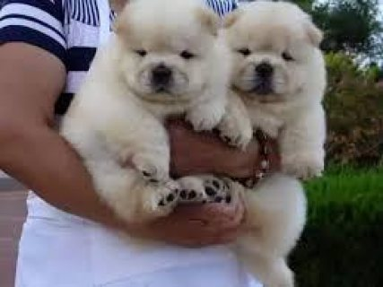playful Chow Chow Puppies for sale