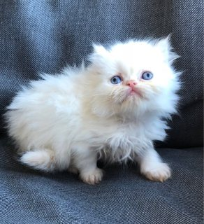 Cute Persian kittens for adoption