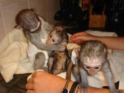 Female White Faced Capuchin Monkeys