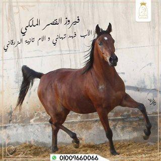 أقتني أجود الخيول العربية الاصيلة من مزرعة القصر الملكي
