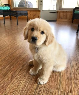 Playful golden retriever puppies available for sale