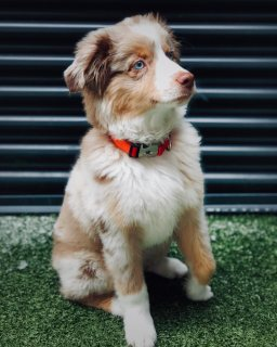 Mini Aussie dogs available for good homes