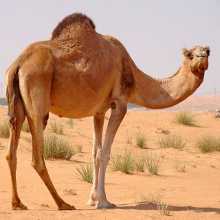 Good looking trained Camels for prepared families