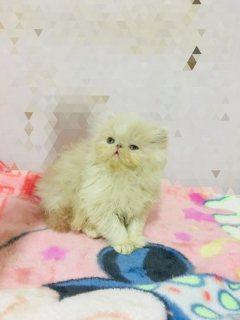 للبيع اجمل قطة باي كلر زورار٥٥يوم من اب مسجل
