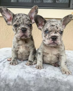 Merle French bulldog puppies