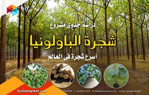 للبيع دراسة جدوي  زراعة شجرة الباولونيا