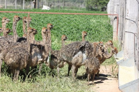 Ostrich and Emu chicks available