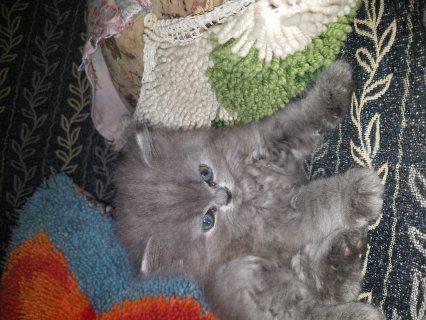 قطط شيرازي بيج ورصاصي