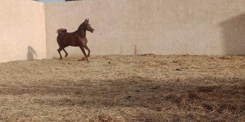 لعشاق الخيول العربية الأصيلة والانساب الراقيه فرسه عربي اصيل نسب ممتاز