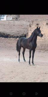 لعشاق الخيول العربية الأصيلة والانساب الراقيه حصان ادهم حفيد العديد الشقب