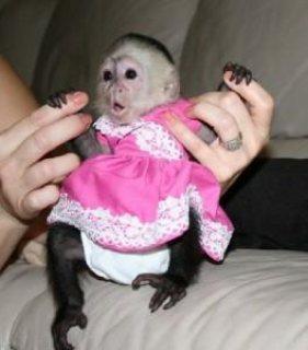 القرد كابوشين من الذكور والإناث ،
