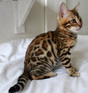حنون ، جميل وجميل القطط البنغال