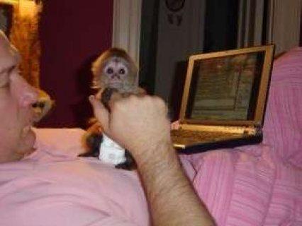 القرود كابوتشين المتاحة