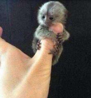 لطيفة تبحث القرود المتاحة