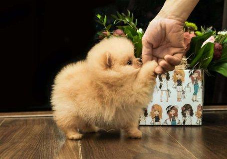 لطيف تبحث كلب صغير طويل الشعر الجراء