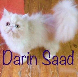 للبيع اجمل قط وقطة باي كلر عمر٤شهور اب مسجلcfa
