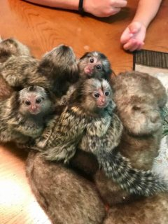 Lovely Finger Marmoset Monkey