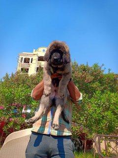 كوكيجن جرو من اعلي المواصفات في مصر