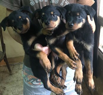 كلاب روت للبيع