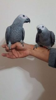 A pair of African Grey parrots to give Away