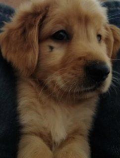 Pure Golden Retriever puppy / جرو جولدن بيور