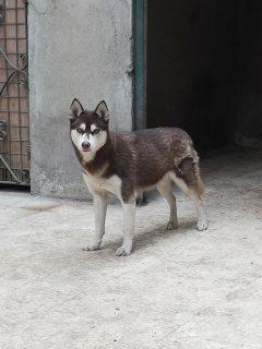 كلاب هاسكي للبيع الجيزة - 730448