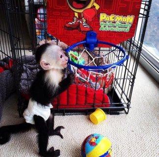 Awesome female pet monkey for adoption.