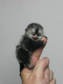 BABY POCKET MONKEY FOR SALE.
