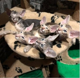 EXCELLENT ORIENTAL SHORT-HAIR KITTENS FOR SALE