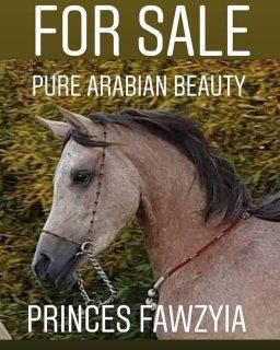 خيل عربى أصيل للبيع المهرة فوزية