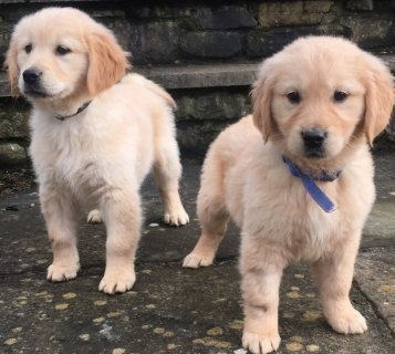 Bulky golden retriever Puppies for new home.