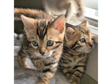 تتوفر قطط البنغال المحبة والمدهشة للمنازل الجديدة الآن