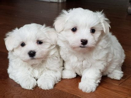 STUNNING MALTESE PUPPIES FOR REHOMING