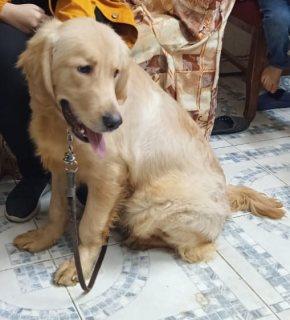 كلب جولدن رتريفر golden retriever للبيع واخد تطعيم صعار و سوماني