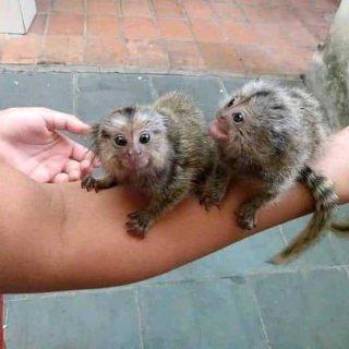 قزم القزم - أصغر القرود